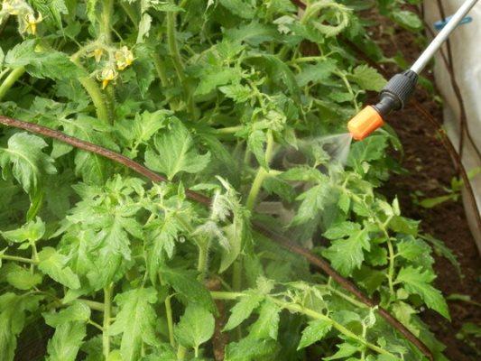 йод против фитофторы на помидорах