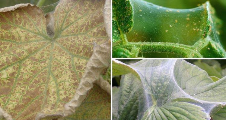 обработка теплицы от паутинного клеща осенью