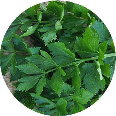 сельдерей бодрость листовой