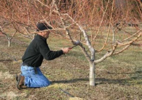 уход за грушей осенью