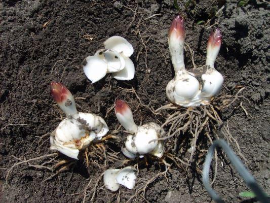 как размножить лилии чешуйками осенью