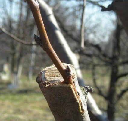 прививка груши осенью