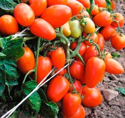 томат новичок