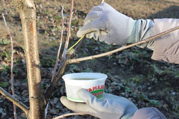 уход за грушей осенью подготовка к зиме