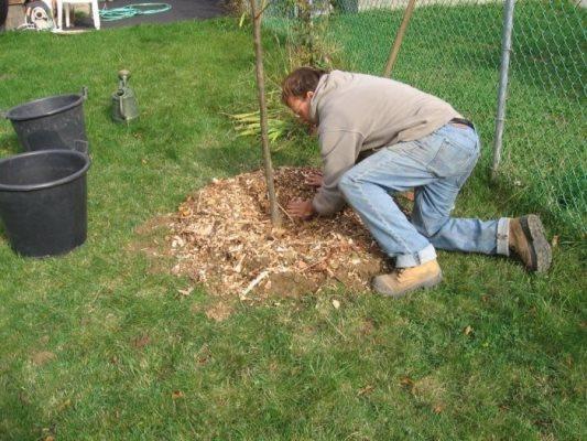 как посадить грушу осенью