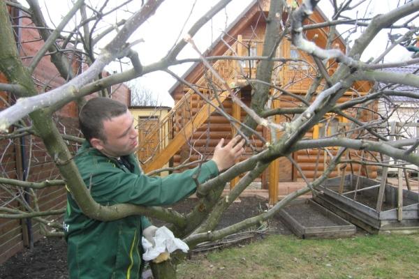 обработка груши осенью