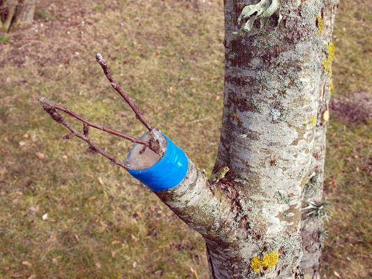 прививка груши осенью сроки