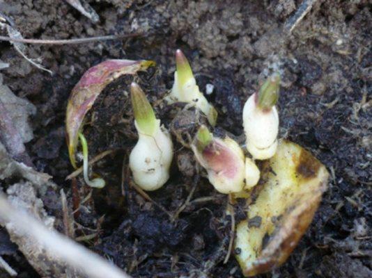 размножение лилий осенью