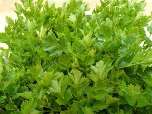 сельдерей листовой бодрость выращивание из семян