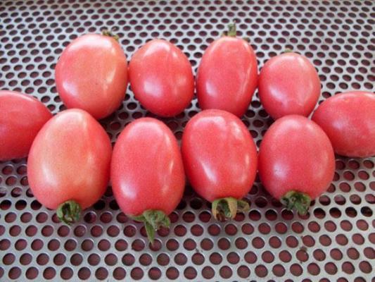 томат новичок розовый характеристика и описание сорта
