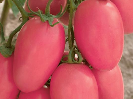 сорт томатов новичок розовый отзывы