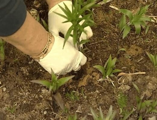 лилии посадка и уход размножение осенью