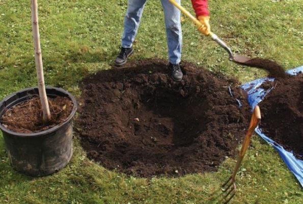 как правильно сажать грушу осенью