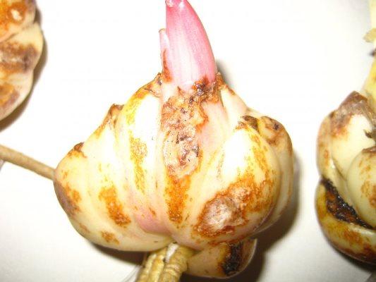 хранение лукавиц лилий зимой в домашних условиях