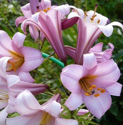 как ухаживать за лилиями осенью