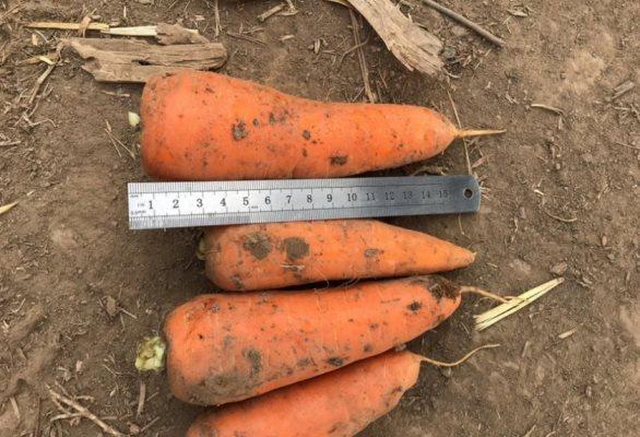 морковь алтайская лакомка отзывы