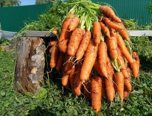 морковь берликум роял отзывы
