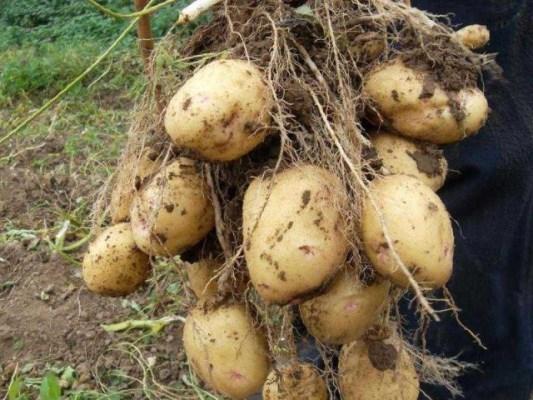 сорт картофеля аврора