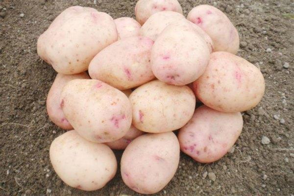 аврора картофель характеристика