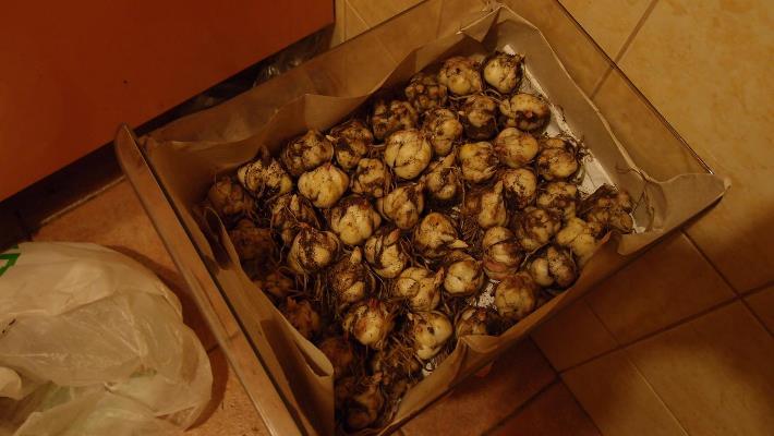 как хранить луковицы лилий зимой