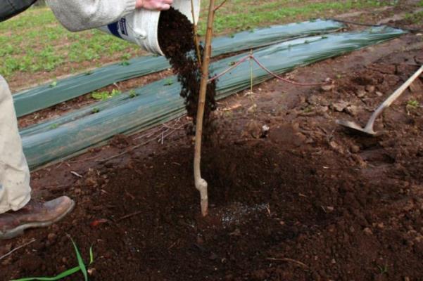 подкормка груши осенью удобрениями