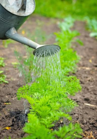 полив моркови 2