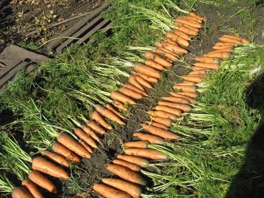 сбор урожая моркови 1