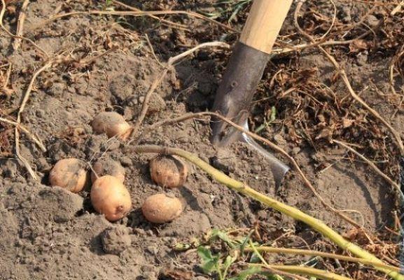 выкопка картофеля 1