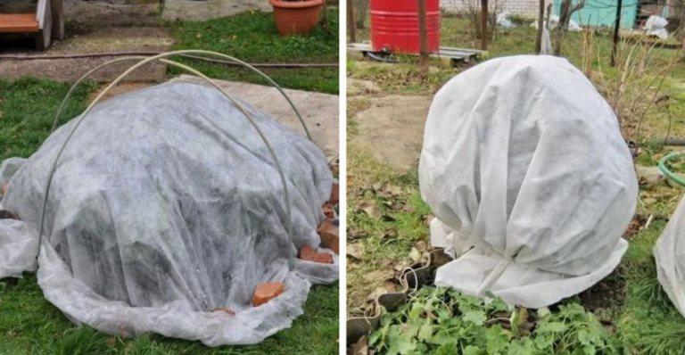 как укрыть голубику на зиму