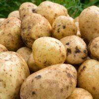 картофель санте характеристика сорта отзывы вкусовые качества