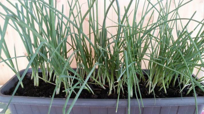 лук батун на подоконнике выращивание из семян