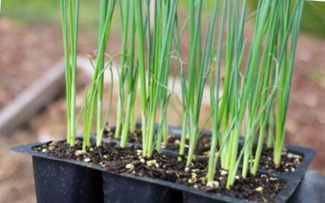 лук порей выращивание из семян в домашних