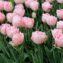 тюльпан фокстрот фото и описание