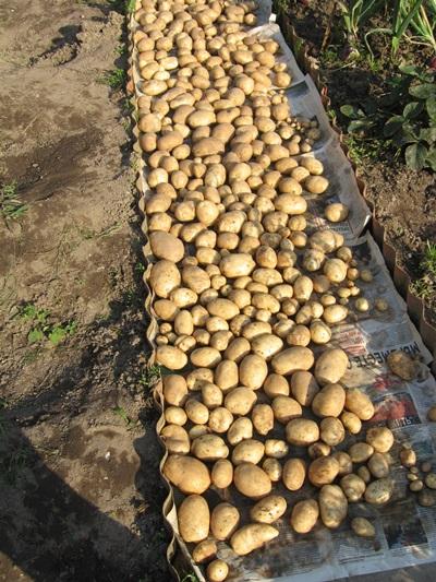 срок созревания картофеля удача