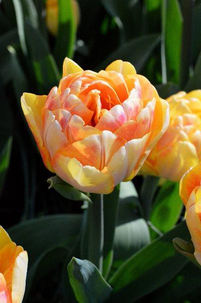 тюльпаны сорта фокстрот фокси