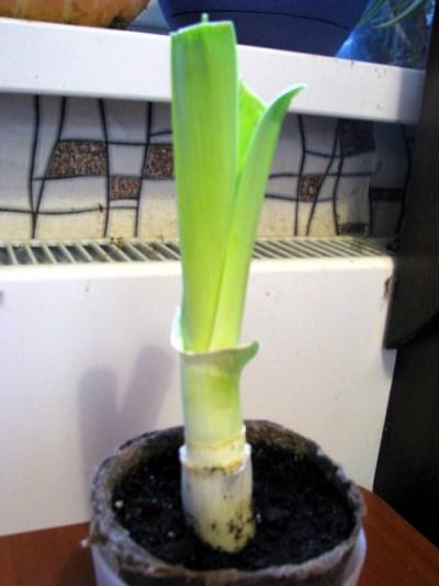 как выращивать лук порей в домашних