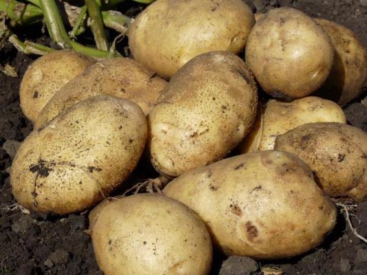 сорт картофеля санте характеристика отзывы фото