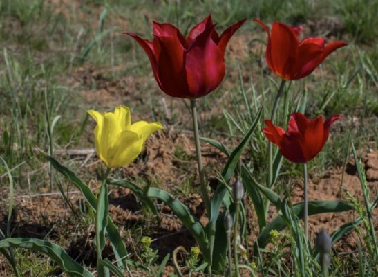 тюльпан шренка в оренбургской области