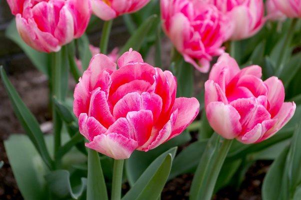 тюльпан махровый ранний фокстрот