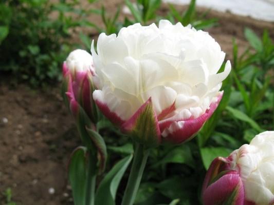 тюльпан мороженое фото