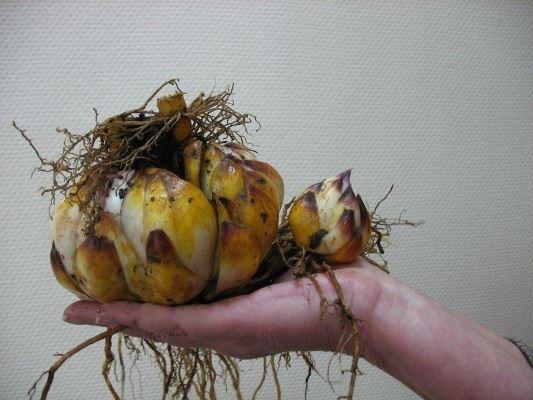 луковицы лилий 2
