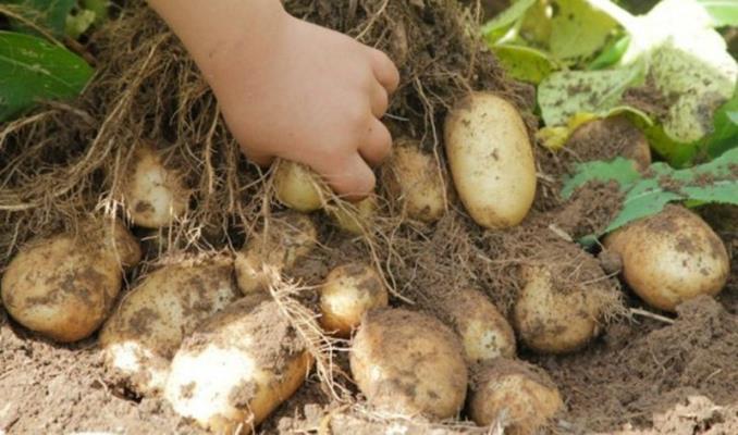 удача картофель описание