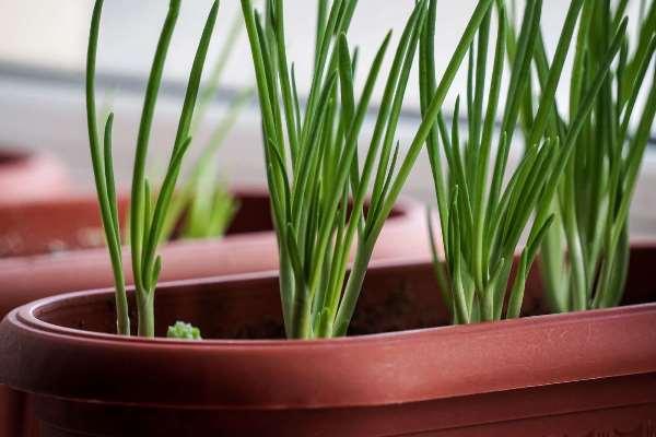как вырастить лук батун на подоконнике