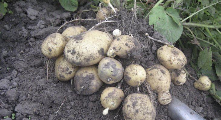 сорт картофеля санте когда копать