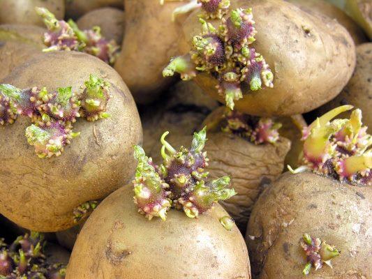 проращивание картофеля 1