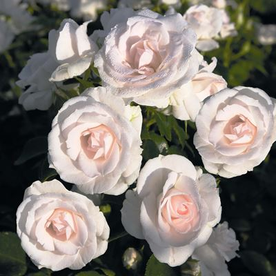 роза аспирин фото и описание отзывы
