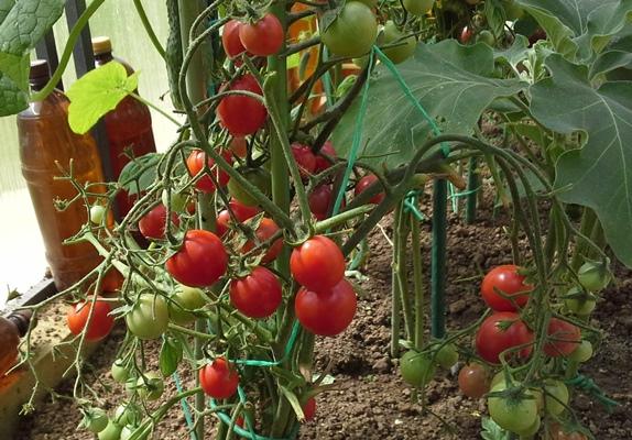 томат божья коровка характеристика и описание сорта