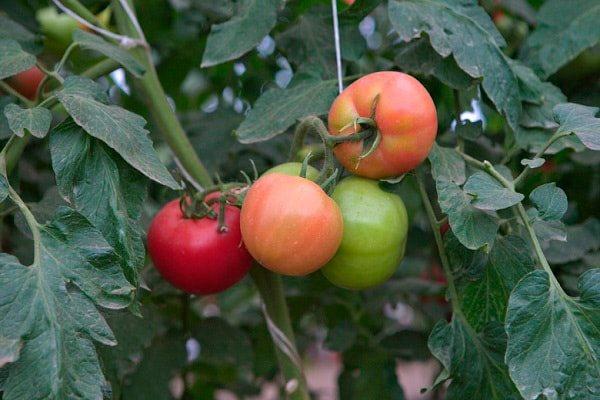 томат весна севера f1 отзывы