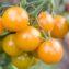 томат мандариновая гроздь отзывы