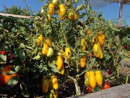 банановые ноги томат отзывы